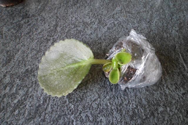 Укорененный лист в пищевой пленке