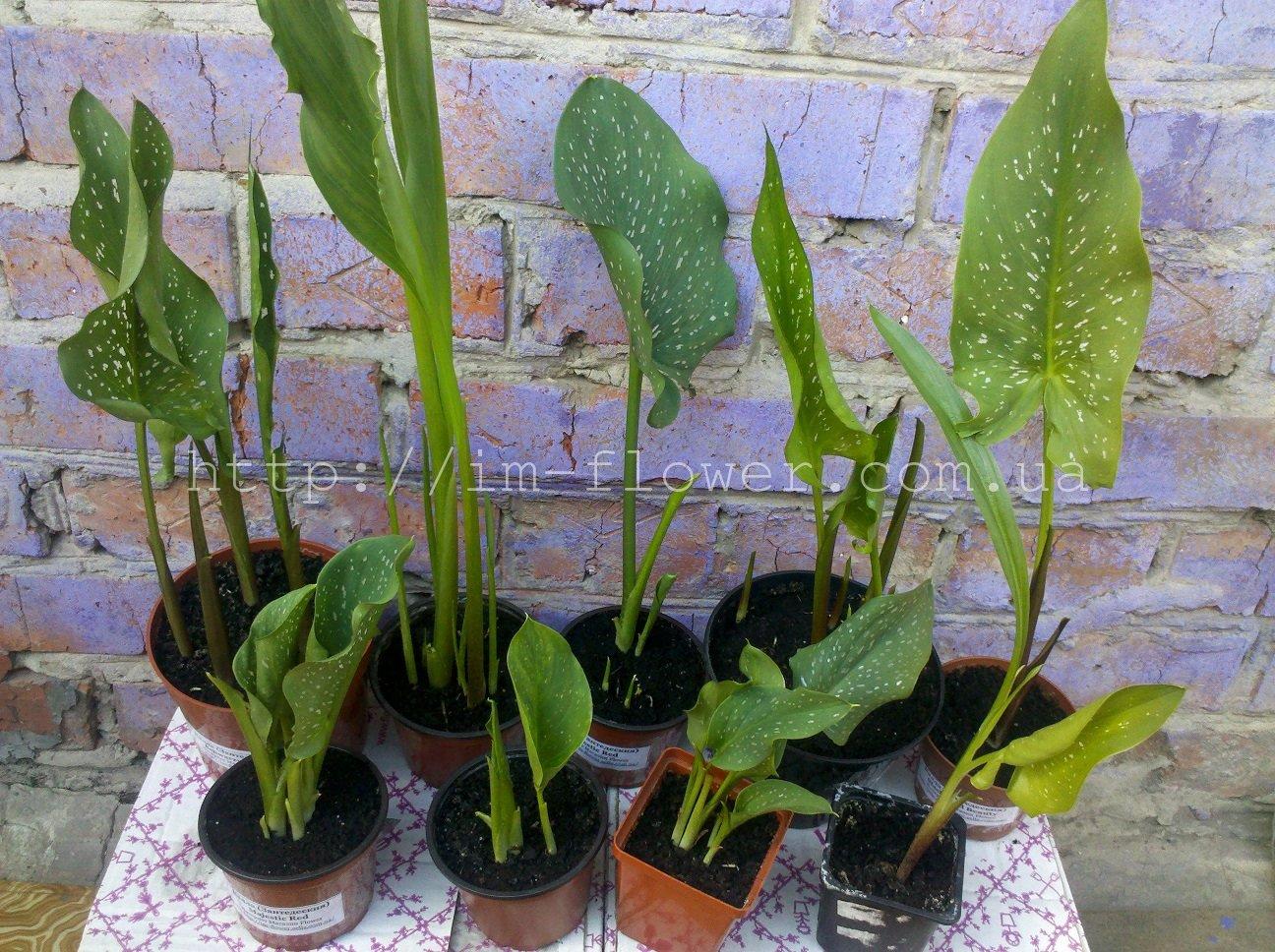 Выращивание калл в открытом грунте: особенности, растения 43