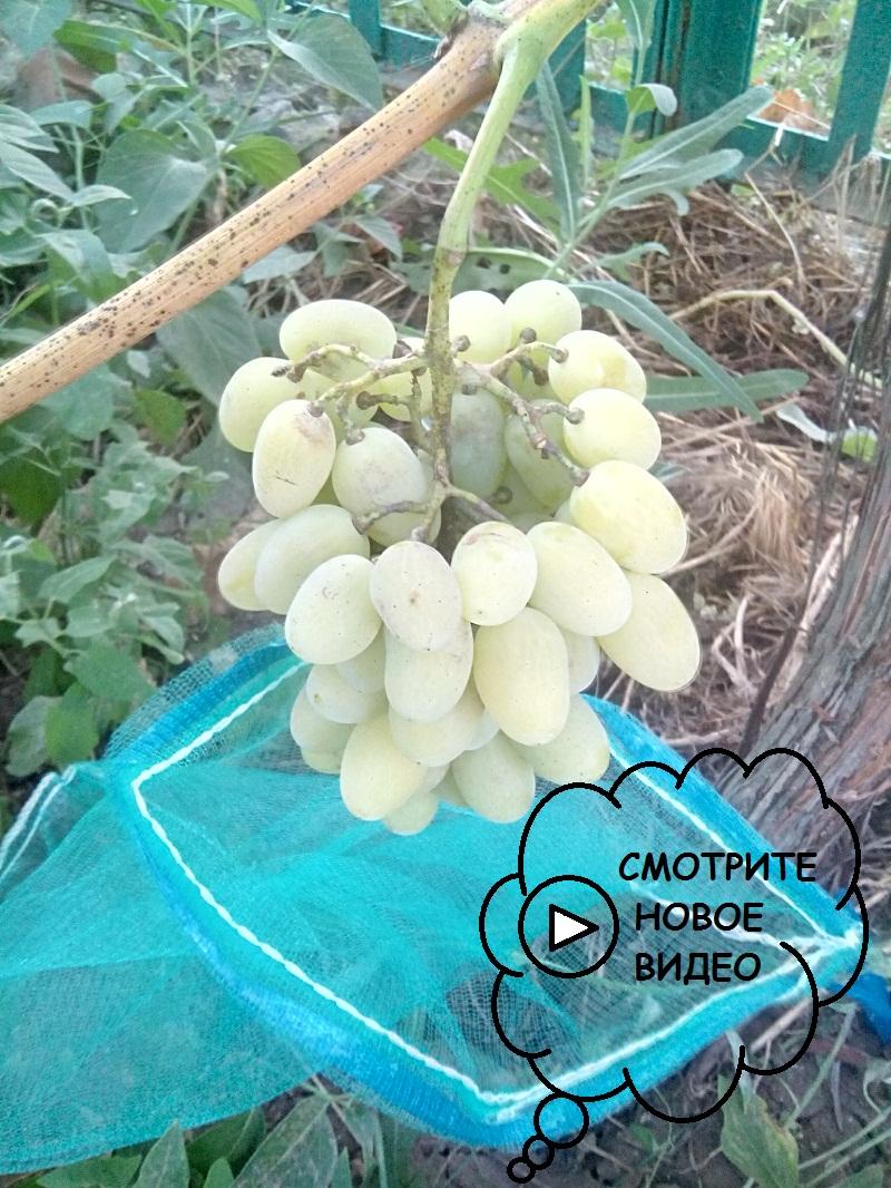 купить мешочки и сетку от ос для защиты винограда