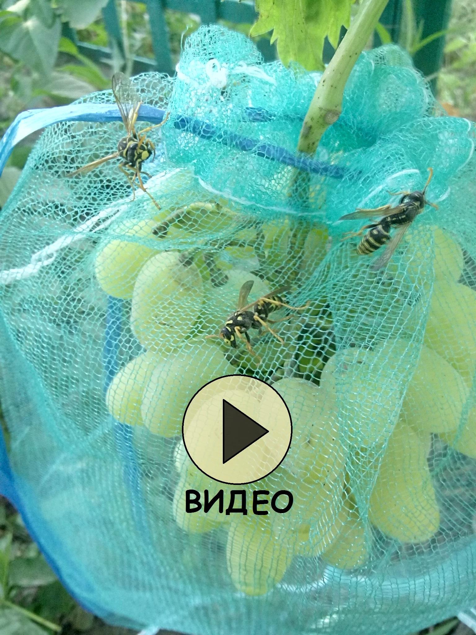 Защита от ос винограда с помощью мешочков из сетки.